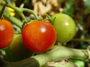 cherry-tomatoes-plant